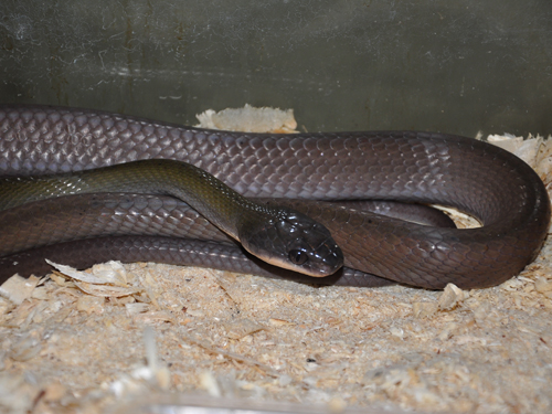 photo Black-headed cat snake / <span class='cursive'>Boiga nigriceps</span>