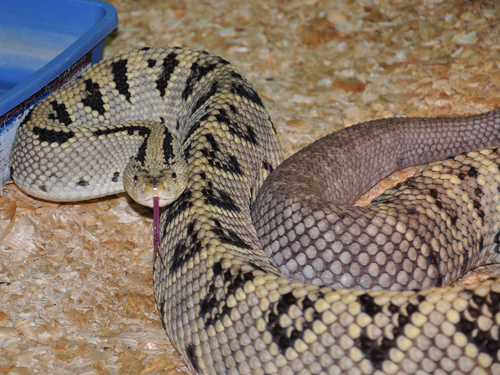 Middle American rattlesnake