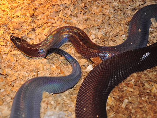 Mexican burrowing python