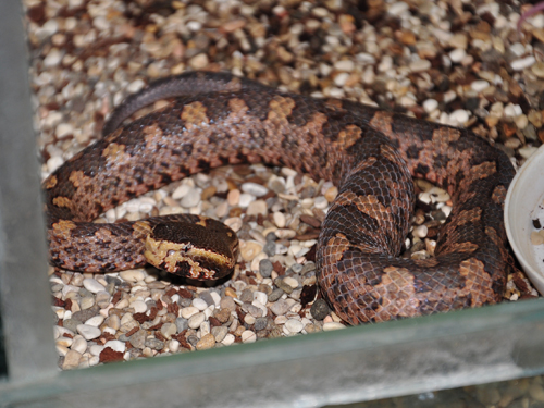 photo Mountain pitviper / <span class='cursive'>Ovophis monticola</span>