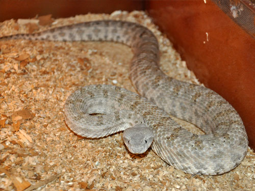 photo Field's viper / <span class='cursive'>Pseudocerastes persicus</span>