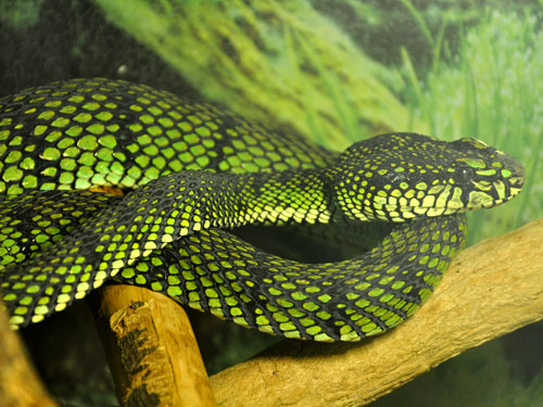photo Sumatran pitviper / <span class='cursive'>Parias sumatranus</span>