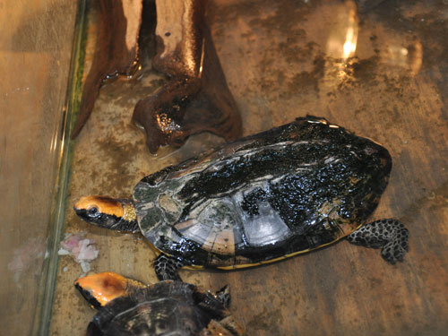 Twist-necked turtle
