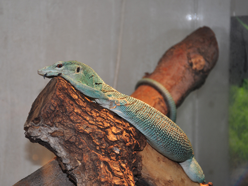 photo Emerald monitor / <span class='cursive'>Varanus prasinus</span>