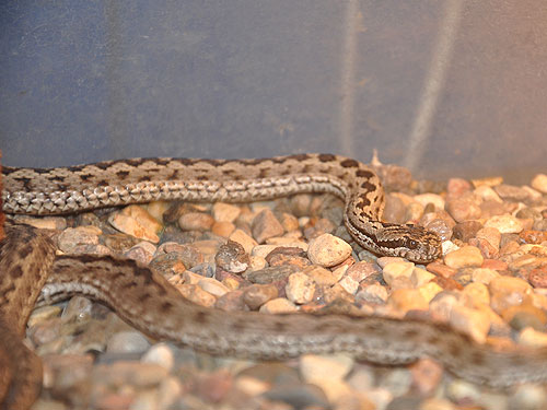 Tien Shan meadow viper