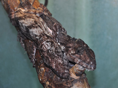 photo Cuban crested anole / <span class='cursive'>Chamaeleolis porcus</span>