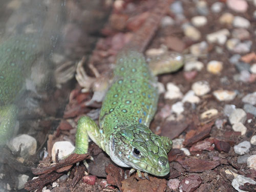 North African ocellated lizard
