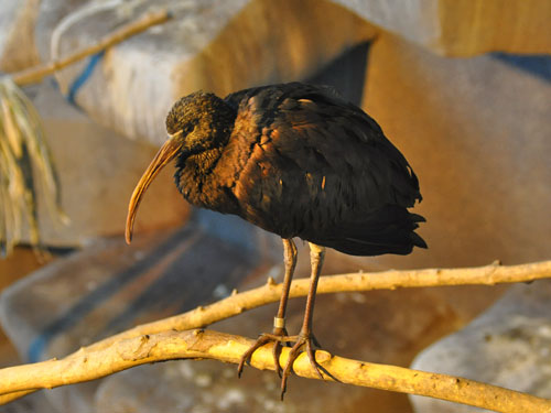photo Glossy ibis / <span class='cursive'>Plegadis falcinellus</span>
