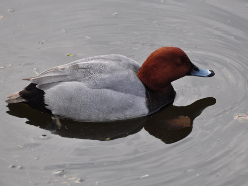 photo Aythya ferina / Common pochard