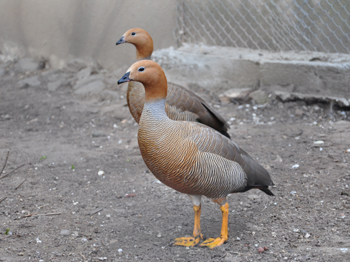 photo Ruddy-headed goose / <span class='cursive'>Chloephaga rubidiceps</span>
