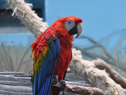 photo Scarlet macaw / <span class='cursive'>Ara macao</span>