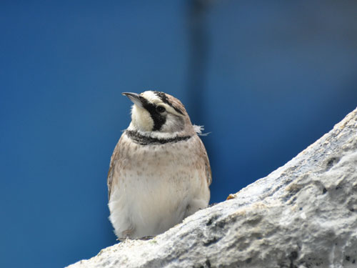 photo Horned lark / <span class='cursive'>Eremophila alpestris</span>