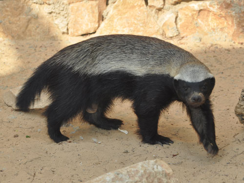 Central African ratel