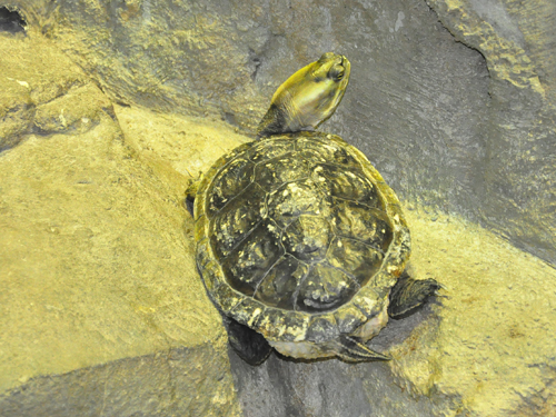 photo Haitian slider / <span class='cursive'>Trachemys decorata</span>