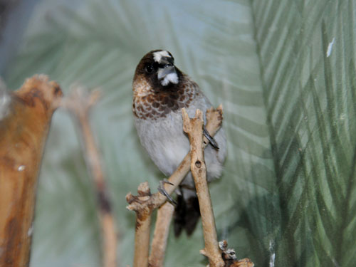 photo Lonchura domestica / Bengalese/Society finch