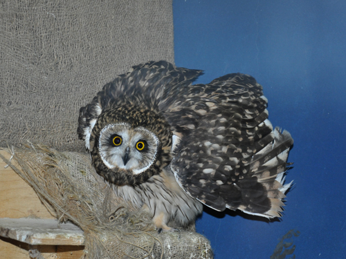 photo Short-eared owl / <span class='cursive'>Asio flammeus</span>