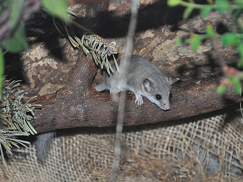 photo Forest African dormouse / <span class='cursive'>Graphiurus murinus</span>