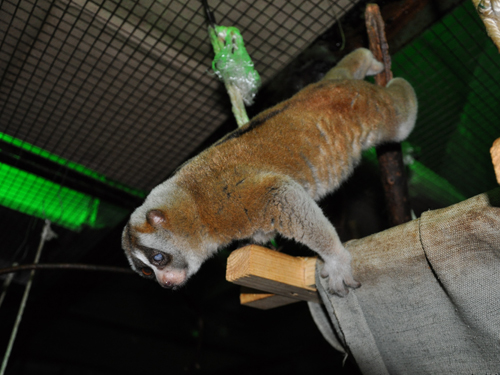 photo Nycticebus coucang / Slow loris