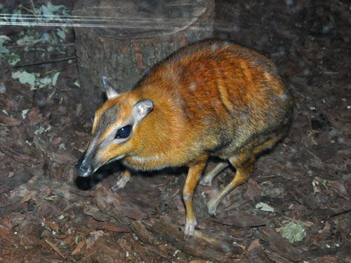 photo Greater Malayan chevrotain / <span class='cursive'>Tragulus napu</span>