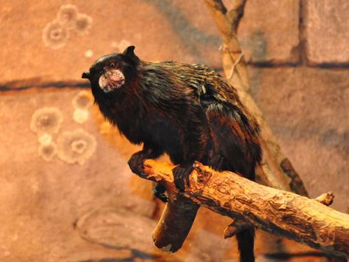 Andean saddle-back tamarin