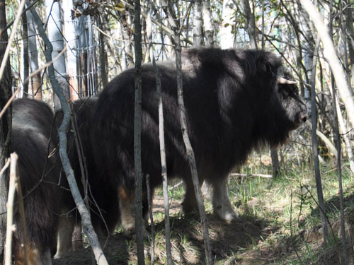 photo Canadian muskox / <span class='cursive'>Ovibos moschatus moschatus</span>