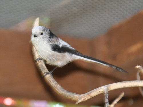 photo Long-tailed tit / <span class='cursive'>Aegithalos caudatus</span>