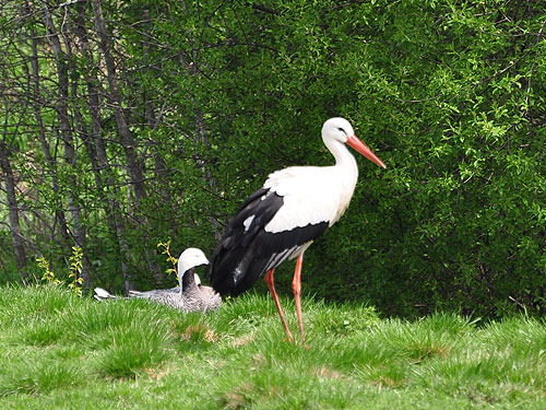 photo White stork / <span class='cursive'>Ciconia ciconia</span>