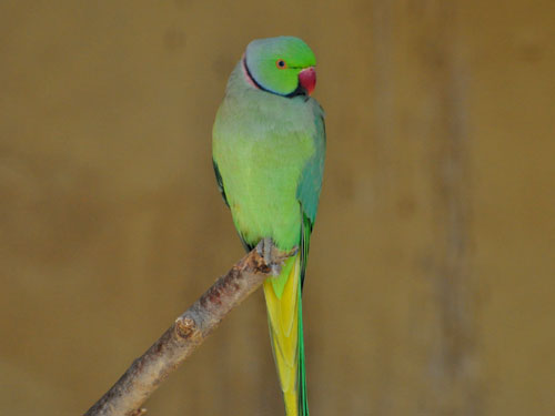 photo Rose-ringed parakeet / <span class='cursive'>Psittacula krameri</span>