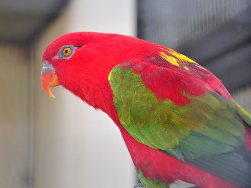 photo Yellow-backed chattering lory / <span class='cursive'>Lorius garrulus flavopalliatus</span>