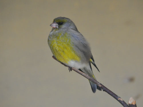 photo European greenfinch / <span class='cursive'>Chloris chloris chloris</span>