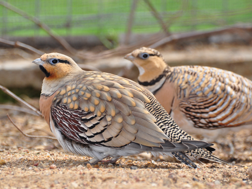 photo Pin-tailed sandgrouse / <span class='cursive'>Pterocles alchata</span>