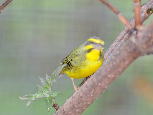 photo Yellow-fronted canary / <span class='cursive'>Serinus mozambicus</span>