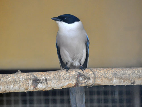 Azure-winged magpie