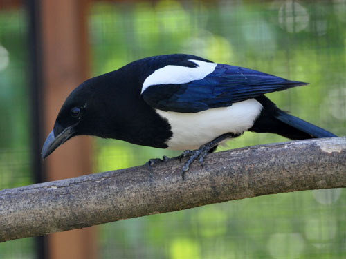 photo Eurasian magpie / <span class='cursive'>Pica pica</span>