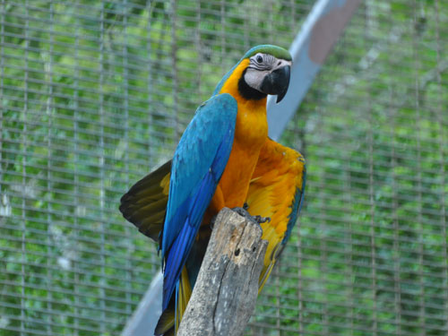 Blue-and-yellow macaw / Ara ararauna