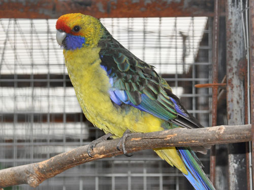 photo Green rosella / <span class='cursive'>Platycercus caledonicus</span>