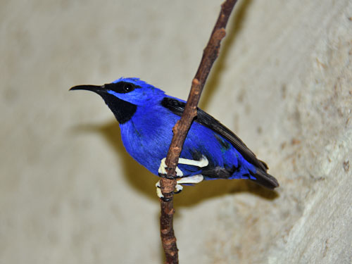 Purple honeycreeper