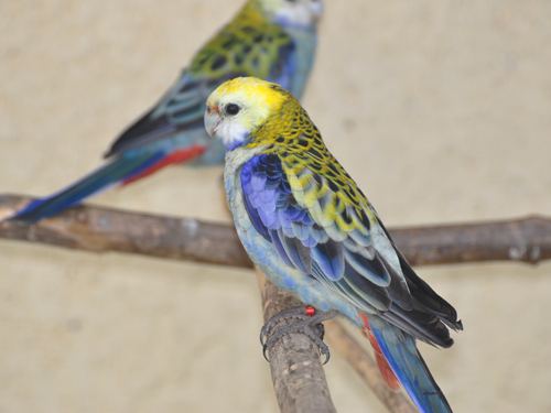 photo Blue-cheeked rosella / <span class='cursive'>Platycercus adscitus adscitus</span>