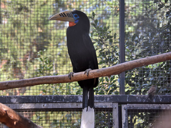 photo Rufous-necked hornbill / <span class='cursive'>Aceros nipalensis</span>