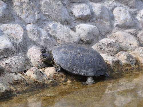 photo European pond turtle / <span class='cursive'>Emys orbicularis</span>