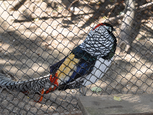 photo Lady Amherst's pheasant / <span class='cursive'>Chrysolophus amherstiae</span>