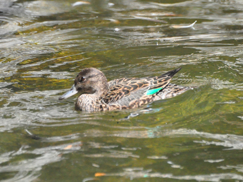 European green-winged teal
