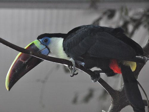 Western red-billed toucan