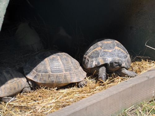 photo Testudo graeca / Spur-thighed tortoise