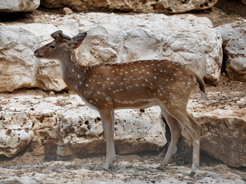 photo Spotted deer / <span class='cursive'>Axis axis</span>