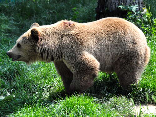 photo European brown bear / <span class='cursive'>Ursus arctos arctos</span>