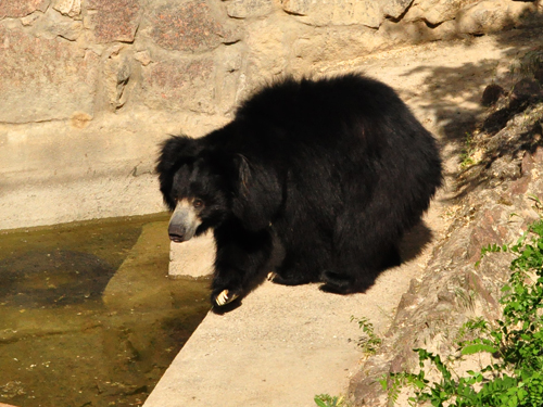 photo Indian sloth bear / <span class='cursive'>Melursus ursinus ursinus</span>