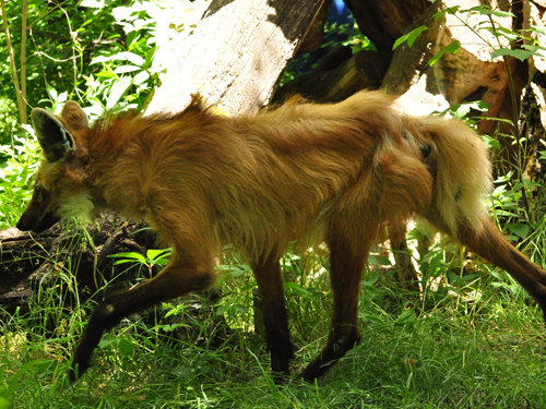 photo Maned wolf / <span class='cursive'>Chrysocyon brachyurus</span>