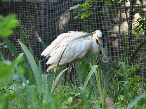 photo White spoonbill / <span class='cursive'>Platalea leucorodia</span>