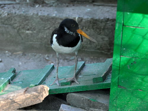 Palaearctic oystercatcher
